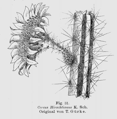 normal_Cereus_hirschtianus.jpg