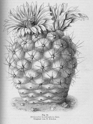 normal_Echinocactus_hexaedrophorus.jpg
