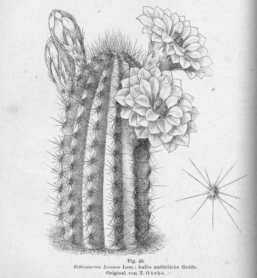 normal_Echinocereus_leeanus.jpg